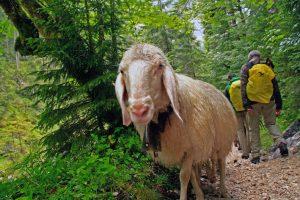 Schafe_Wanderung Reintal auf die Zugspitze